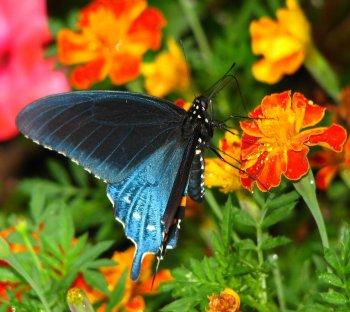 borboleta-azul_flores-laranjas
