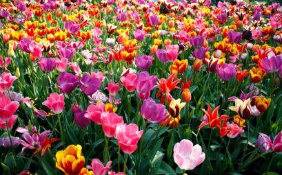 flores-coloridas_campo