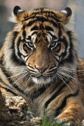 tigre_the-best-photo