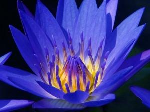 flor de lotus azul