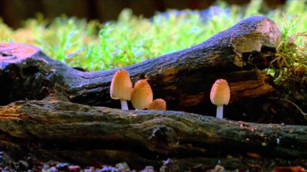 cogumelos_vídeo louie