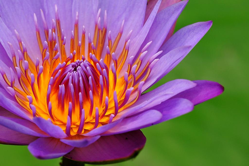 flor de lótus lilás_alta resolução