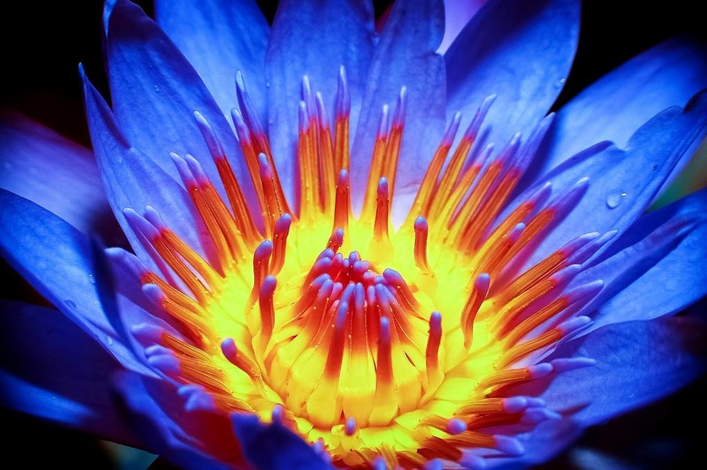 flor-de-lotus-azul-iv