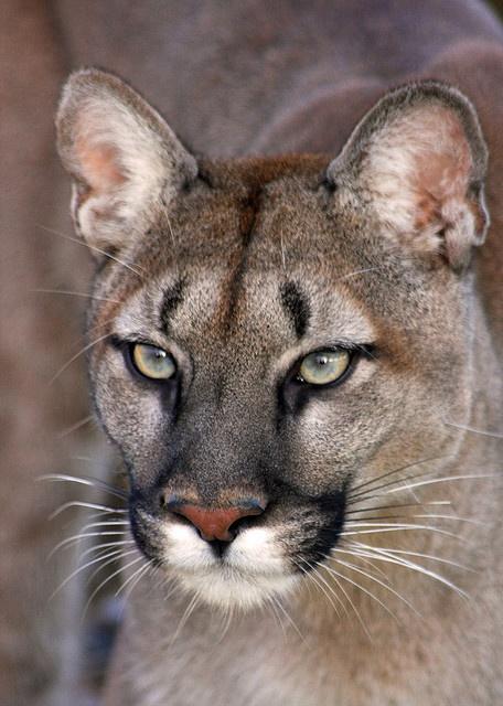 Puma_eyes